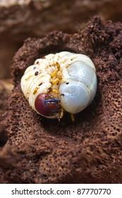 larva the rhinoceros