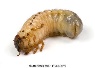 Larva of a rhinoceros beetle (Oryctes nasicornis) isolated on a white background. High resolution photo. Full depth of field.