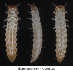 Larva of the sawtoothed grain beetle Oryzaephilus surinamensis Cucujidae. It is a common worldwide pest of grain and grain products as well as fruit, chocolate, drugs, and tobacco