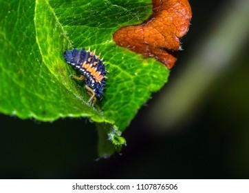 larva of seven-needle ladybirds