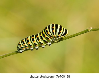 Larva of a swallowtail butterfly