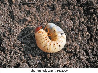 Larva. The larva is thick. Vile disgusting maggot. Fat insect larvae. Beetle larvae. Rhinoceros beetle. Nasty insect. Pest root. Sickening animal.