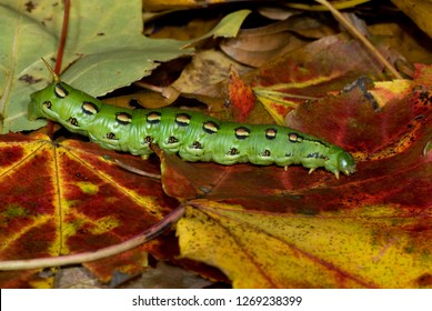 Larva of white-lined sphinx moth (Hyles lineata) traveling across forest floor in autumn in central Virginia in search of a place to pupate and spend the winter.