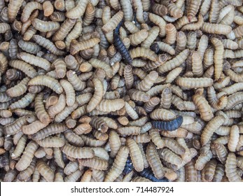 Larvae of Black Soldier Fly (Hermetia illucens) for protein animal feed ingredient.