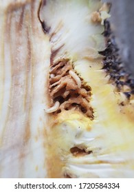 Larvae of oriental fruit fly (Bactrocera dorsalis) injure on java rose apple in Viet Nam.