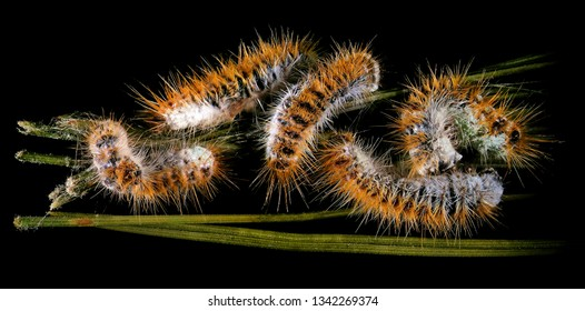 Larvae of a pine processionary moth, Thaumetopoea pityocampa (Lepidoptera: Thaumetopoeidae) infected and killed by entomopathogenic fungus. Microbial Control of Insects