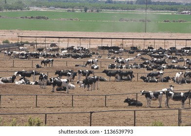 Las Cruces, New Mexico/USA--July, 2014. Cows in a Concentrated Animal Feeding Operation (CAFO).
