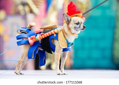 LAS PALMAS - FEBRUARY 16: Elvis 4 years old Chihuahua dog from Canary Islands, onstage during the Carnival's Dogs Contest February 16, 2014 in Las Palmas, Spain