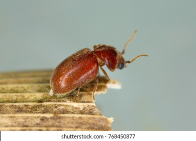 Lasioderma serricorne commonly known as the cigarette beetle, cigar beetle, or tobacco beetle is pest of tobacco dried herbs and many of others stored products