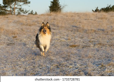 Lassie Come Home - rough collie jumping happily over snowy field. Sunny winter day. Frozen hay field, meadow. Merry herding dog.