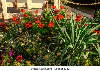 The last autumn flowers of red pelargonium, pansies, petunias and Yucca palms in a decorative flower bed on the street in Gyumri