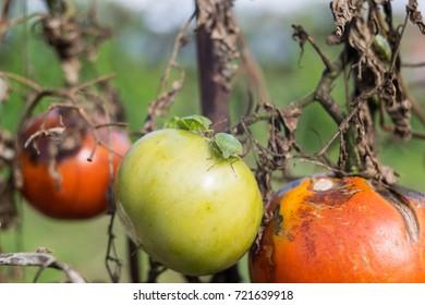the last autumn tomatoes in the garden