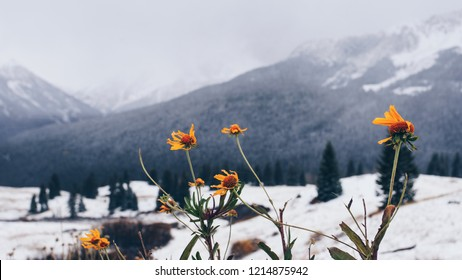 Last daises of the season and first snow in Colorado mountains