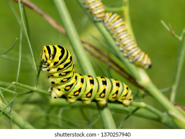Last, fifth instar of a Black Swallowtail butterfly caterpillar eating a fennel stem, with two fourth instars in the background on the same plant