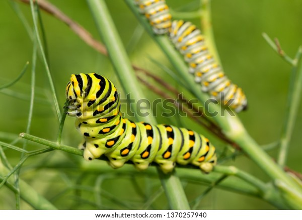 last-fifth-instar-black-swallowtail-600w