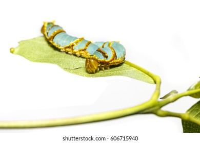 Last instar caterpillar of banded swallowtail butterfly (Papilio demolion) on host plant leaf