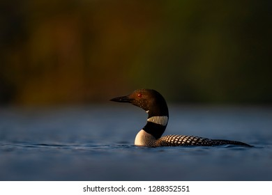 As the last light of the day nears the horizon this adult Common Loon swims slowly into the sun.