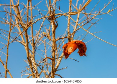 Last overripe and crumbling pomegranate on his tree at blue sky background