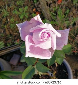The last rose, to bloom (Blue Moon)