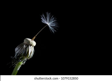 The last seed of a dandelion isolated on black background as a concept for resilience or loneliness.