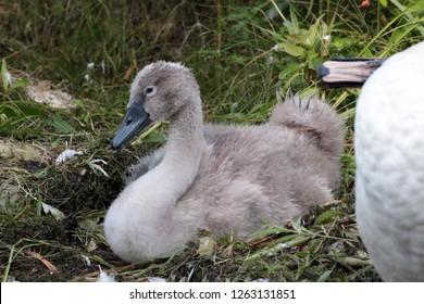 Last surviving cygnet and mute swan mom
