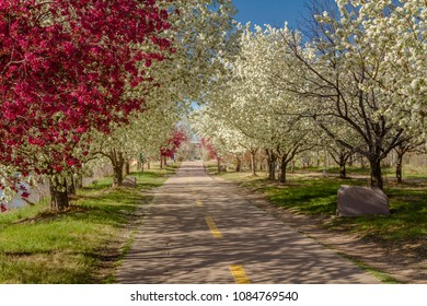 Late afternoon along an urban bike path lined with blooming crab apple trees of pink and white
