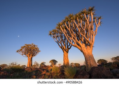 Late afternoon light shining onto Quiver Trees with a moon rising in the sky over Keetmanshoop Quiver Tree Forest in Namibia