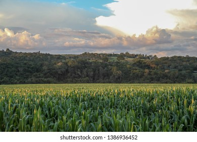 In the late afternoon, rural road, dirt road, corn, corn plantation, cereals, food for humans and animals, very nutritious food, health benefits, corn plantation. view of the pastures.