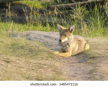 late afternoon shot of a coyote in the lamar valley of yellowstone