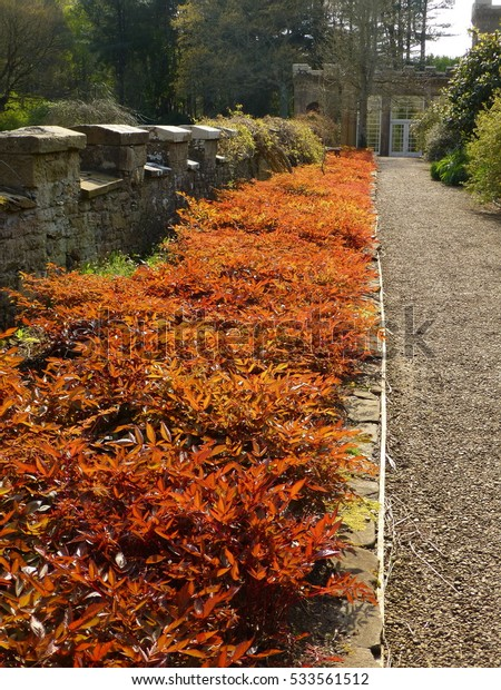 Late afternoon spring sunshine highlighting intense russet-coloured ground cover plant in a bed at Culzean country park, Scotland