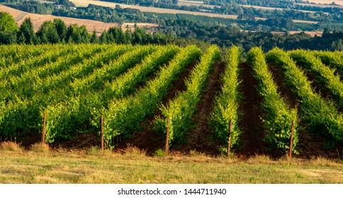 Late afternoon sun glows in long tendrils of vines in even rows in this Oregon vineyard.