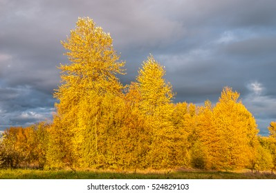 Late afternoon sunlight illuminates a grove of golden autumn deciduous trees at Union Bay Natural Area, Seattle, a nature reserve and research area administered by the University of Washington.