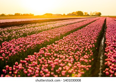 In late April through early May, the tulip fields in the Netherlands colourfully burst into full bloom. Fortunately, there are hundreds of flower fields dotted throughout the Dutch countryside