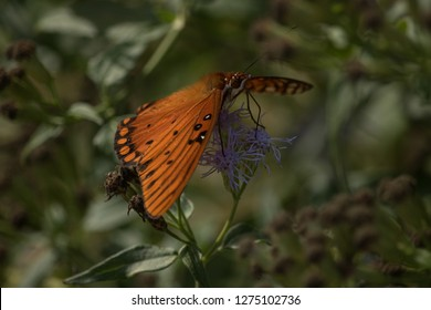 In late autum, a Gulf Fritillary Butterfly gets what nectar is left of this flower.