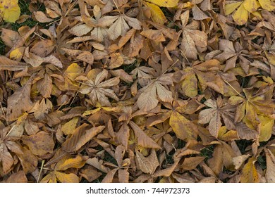 Late autumn brown faded horse chestnut leaves background