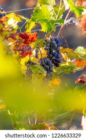 Late autumn grapes harvest in vineyard