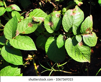 Late blight disease of potato caused by fungus.