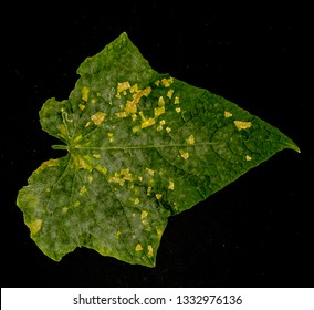 the late blight on the leaf of cucumber, the leaf of tomaro was destroyed by fungus in don duong, lam dong, viet nam, the sick leaf on the black background