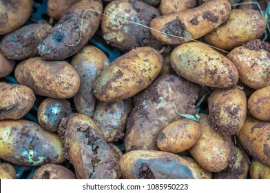 late blight on root of potato