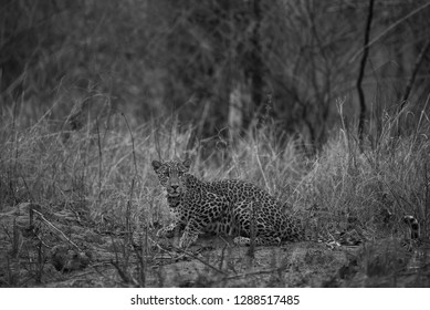 An late evening encounter with a ghost or one of the most elusive animal of the jungle at Kanha Tiger Reserve, India