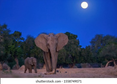 Late evening photo of a mother elephant with a baby elephant coming out of the bush to drink from the Zambezi River. African elephant with full moon in background,  direct view. Mana Pools, Zimbabwe