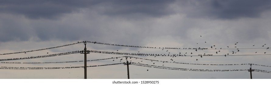 Late Fall. A huge flock of starlings gather on electric wires. They gather fly away in warm countries