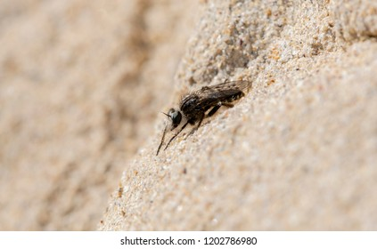 Late Fall Robber Fly (Comantella sp.) Waiting for Prey On Sandstone on the Eastern Plains of Colorado
