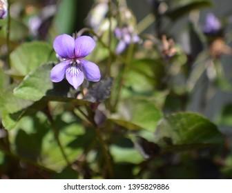 late purple monkey face flower