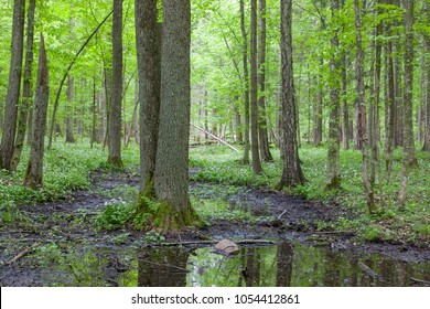 Late spring deciduous wetland with standing water in foreground, Bialowieza Forest, Poland, Europe