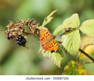 Late summer basking, Comma butterfly on bramble