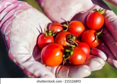 Late summer in organic community vegatable garden.
