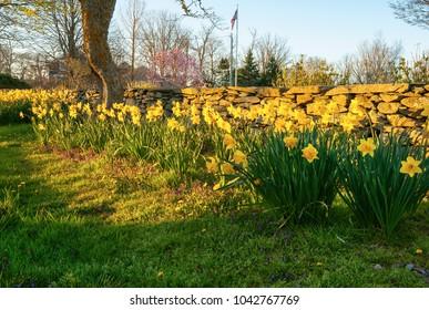 Late sun illuminates daffodils blooming along stone wall in Compton, Rhode Island