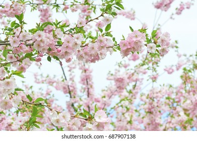 The late varieties of Japanese Sakura that grow in northern Europe