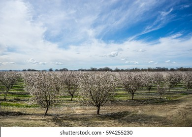 Late winter in the almond orchard